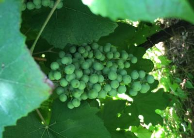 close up grapes